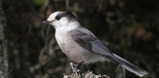Whiskey Jack Bird (CANADA JAY) – Birds for Kids