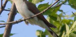 YELLOW-BILLED CUCKOO, Rain Crow – Birds for Kids