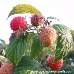 cultivating income - heritage raspberries