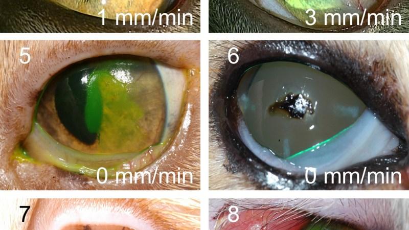 Aqueous tear deficiency in cats