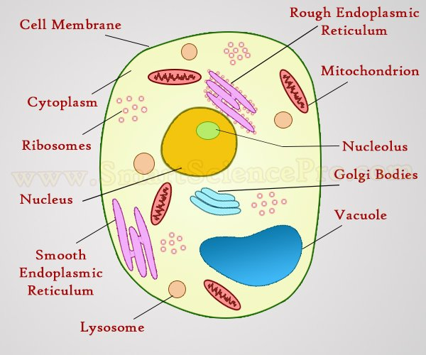 cell diagram animals structure of animal cell and plant cell under microscope ...