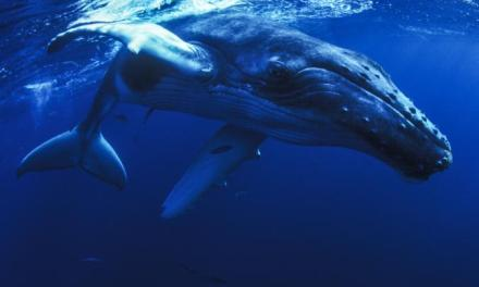 Gervais' Beaked Whale Drone Footage Captured off Dominica For the First Time