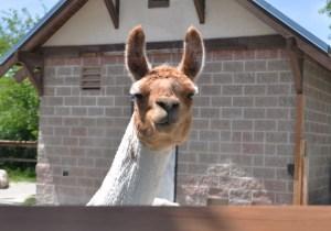 Review: KC zoo koala exhibit