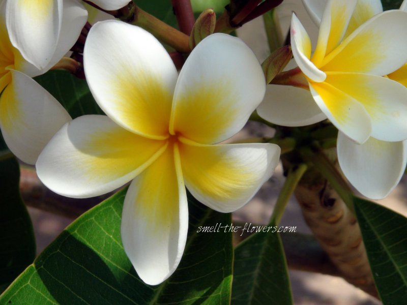 Hawaiian flower   smell the flowers blog Plumeria tropical tree and flowers
