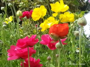 colorful-buttercups