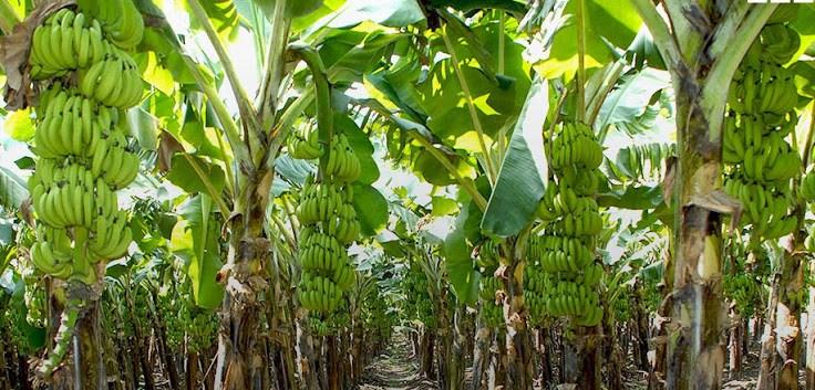 Plantain plantation - Smepeaks.com - Port Harcourt Bole Festival