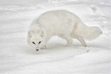 Arctic Fox - Michael Windle