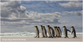 04 Parading King Penguins