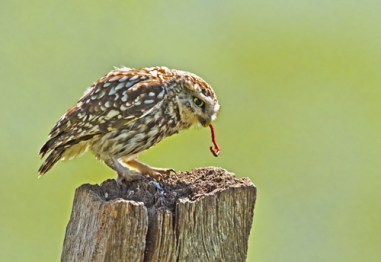 06 little Owl