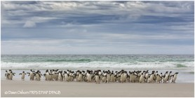 06 Rockhopper Penguins come ashore