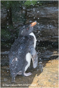 07 Rockhopper Penguin taking a shower
