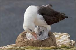 08 Black-browed Albatross parent and chick