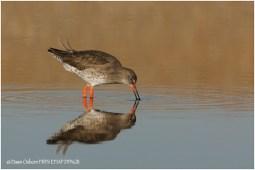 15 Redshank foraging