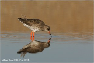 15 Redshank foraging