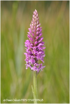 19 Common Spotted Orchid