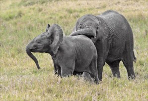 Baby Elephants Wrestling