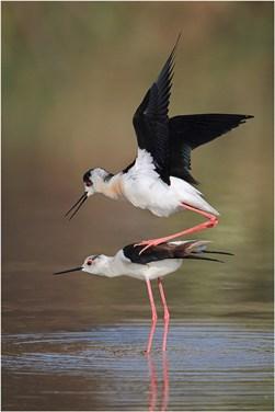 Black-Winged Stilts mating - Paul Keene