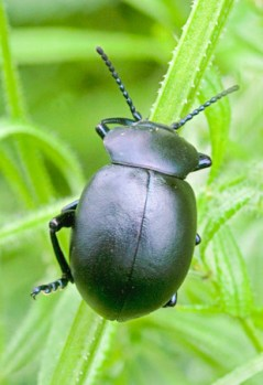 Bloody Nosed Beetle Timarcha tenebriscosa