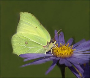BRIMSTONE FEEDING