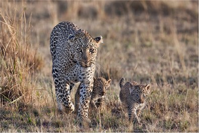Female Leopard with cubs - Frank McGowan