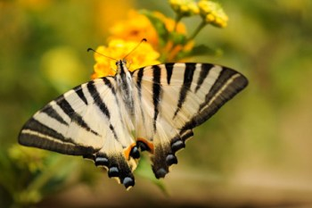 Greek_Butterfly_2nd_position_9_pts_A