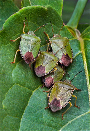 Green Shield Bugs Palomena Prasina
