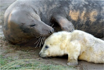 GREY SEAL WITH PUP