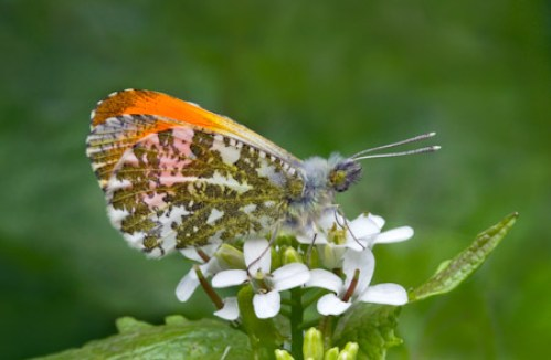 Male Orange Tip Butterfly Anthocharis Cardamines