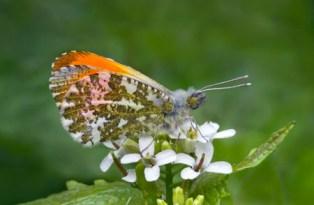 Barbara Lawton - Male Orange Tip Butterfly