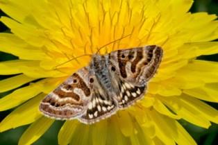 Mother Shipton Moth Callistege mi