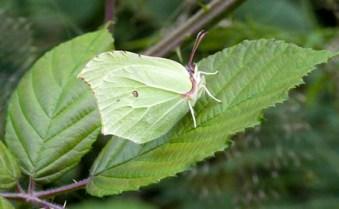 Newly Emerged Brimstone Butterfly Gonepteryx Rhamni