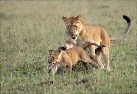 PLAYFUL MARSH PRIDE LIONS MASAI MARA