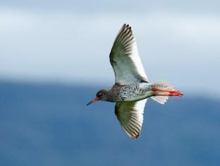 Redshank in Flight