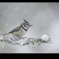 Third-Crested Tit in Blizzard-Philippa Wheatcroft