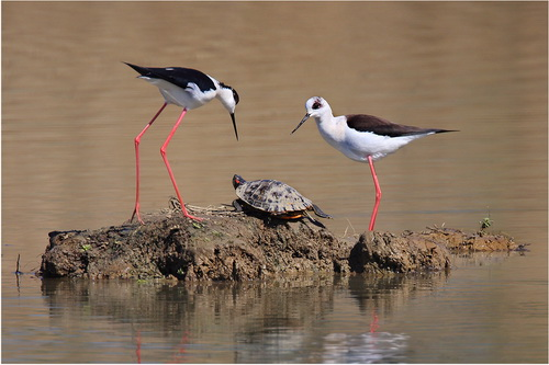 20.Black-winged Stilts and Terrapin_resize