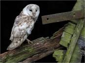 Barn Owl - Peter Siviter