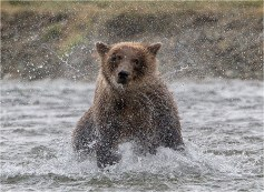 Brown Bear shaking dry - Michael Windle