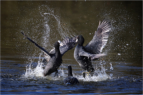 Coots fighting - Paul Keene