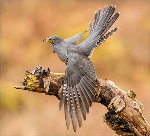 Cuckoo in Rain - Philippa Wheatcroft