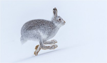 Mountain Hare - Philippa Wheatcroft