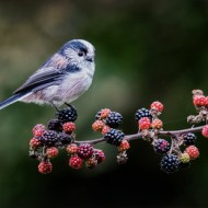 PSA Ribbon-Long Tailed Tit on Blackberries-Alan Grant-England