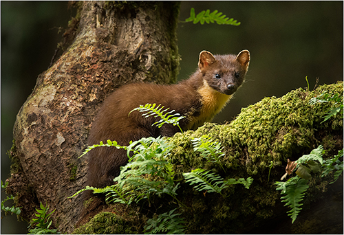 Pine Marten - Philippa Wheatcroft