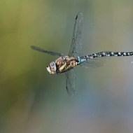 SPS Ribbon-Migrant Hawker Defacating-Richard Nicoll-England