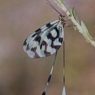SPS Ribbon-Nemoptera at Rest-Ralph Snook-England