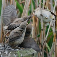 SPS Ribbon-Reed Warbler Feeding Fledglings-Van Greaves-England