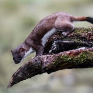 SPS Ribbon-Wild Stoat-Ita Martin-Ireland