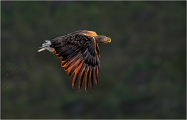 WhiteTailed Eagle at Sunset - Michael Windle
