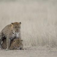 SPS Silver Medal -Leopard Courtship-Thomas Vijayan-- Canada