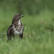 commended-buzzard-robert tunstall
