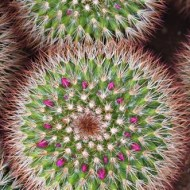 commended-mammillaria spinosissima-barbara lawton